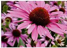 30x Sonnenhut Purpurea - Samen Garten Blume