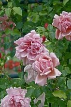 'Albertine', Rambler-Rose im 4 Liter