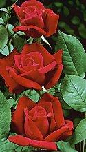 'Alec's Red' -R-, Duft-Edelrose im 4 L
