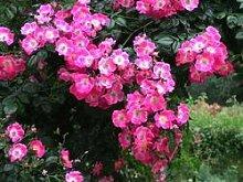 'American Pillar', Rambler-Rose in