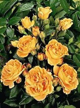'Bernstein Rose' -R-, Beetrose im 4 L