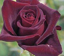 'Black Baccara' -R-, Edelrose in