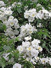 'Bobbie James', Rambler-Rose in