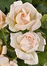 'Chandos Beauty' -R-, Duft-Edelrose im 4 L