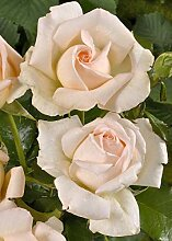 'Chandos Beauty' -R-, Duft-Edelrose in