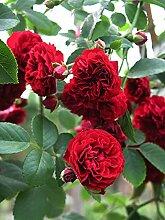 'Chevy Chase', Rambler-Rose im