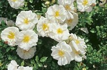 'Diamant' -R-, Kleinstrauchrose, ADR-Rose