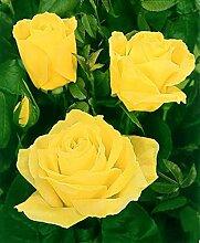 'Duftgold' -R-, Edelrose im 4 Liter
