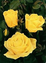 'Duftgold' -R-, Edelrose in A-Qualität
