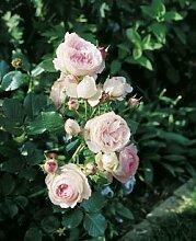 'Eden Rose '85' -R-, Strauchrose im 4