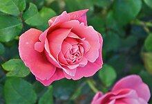 'Elbflorenz' (R), Duft-Edelrose, ADR-Rose,
