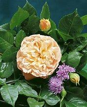 'Evelyn' -R-, Englische Rose im 4 L