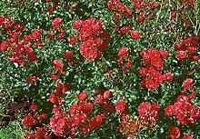 'Gärtnerfreude' -R-, Kleinstrauchrose,