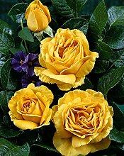 'Golden Lady' -R-, Duft-Edelrose im 4 L