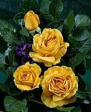 'Golden Lady' -R-, Duft-Edelrose in