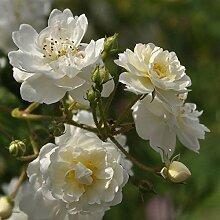 'Guirlande d' Amour' -R-, Rambler-Rose
