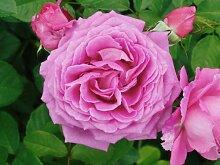 'Jennifer-Rose' (R), Duft-Beetrose im 4 l