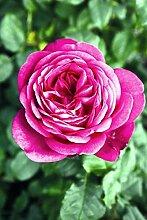 'Johann W.v. Goethe Rose' (R),
