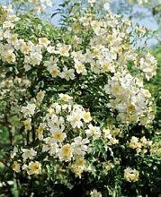 'Kiftsgate', Rambler-Rose in A-Qualität