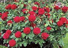 'L.D.Braithwaite' -R-, Englische Rose im 4