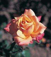 'Lolita' -R-, Edelrose in A-Qualität