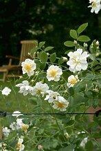 'Lykkefund', Rambler-Rose in A-Qualität