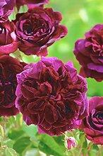 'Munstead Wood' -R-, Englische Rose (David