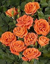 'Orange Dawn' -R-, Kletterrose im 4 L