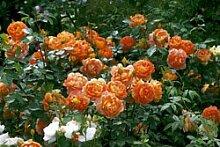 'Pat Austin' -R-, Englische Rose im 4 L