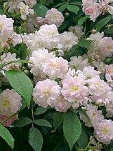'Paul's Himalayan Musk', Rambler-Rose