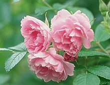 'Pink Grootendorst', Strauchrose (Rosa