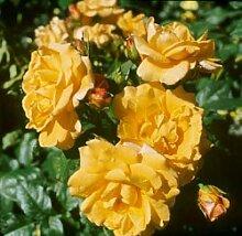 'Postillion' -R-, Strauchrose, ADR-Rose im