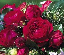 'Red Eden Rose' -R-, Strauchrose in