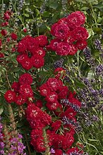 'Rosilia' (R), Kletter-/Ramblerrose im 4 L