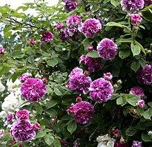 'Russeliana', Rambler-Rose im