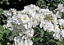 'Seagull' (R), Rambler-Rose in