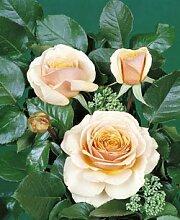 'Sweet Lady' -R-, Duft-Edelrose im 4 L
