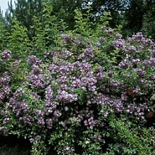 'Veilchenblau', Rambler-Rose in