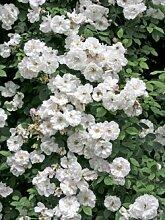 'Venusta Pendula', Rambler-Rose in