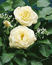 'White Gold' -R-, Strauchrose im 4 L