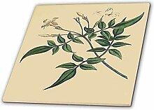 3dRose CT 204743_ 2Print von Jasmin Pflanze
