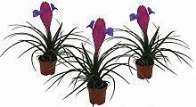 3er Set Bromelie (Tillandsia cyanea), Sorte: