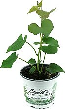 3er Set Süßkartoffel Pflanze Ipomea batata,