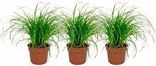 3x Cyperus Zumula - Katzengras - Zimmerpflanze im