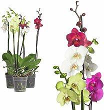 3x echte Phalaenopsis Orchideen 2 Triebe - 50 bis