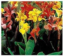 3x Frisch Cannamischung Canna Pflanzen Garten