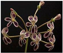3x Pelargonium anethifolium Samen Geranie Pflanze