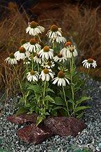 3x Weißer Sonnenhut (Echinacea purpurea '