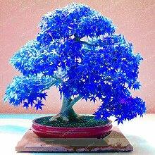4: 20 Stücke Seltene Blau Ahorn Samen Bonsai Baum