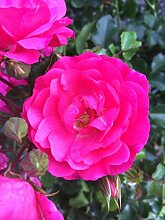 4,5 Liter Topf Bodendeckerrosen pink Bodendecker